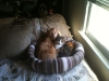 kramer and arena in cat bed